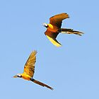 Macaws in flight by Leoni South