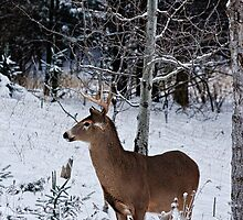 Buck Deer in snow - Ottawa, Ontario by Michael Cummings