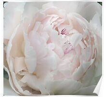 Pale Pink Peony 1 Poster