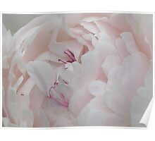 Pale Pink Peony Poster