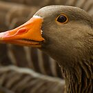 Greyleg goose watching by Gabor Pozsgai