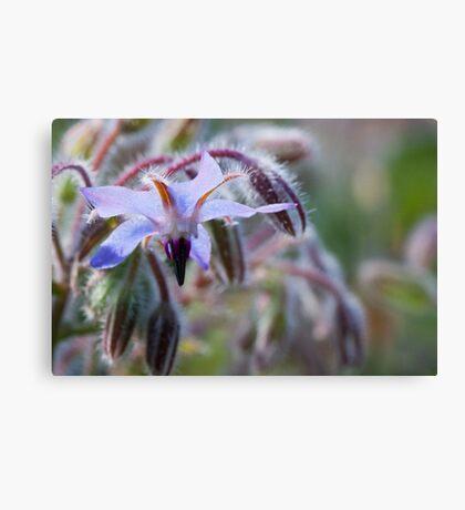 Borage flower Canvas Print