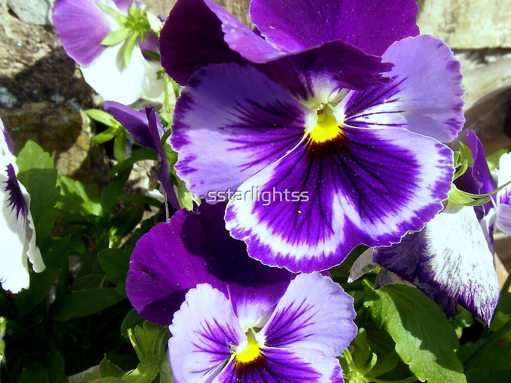 Glorious Purple Pansies by sstarlightss