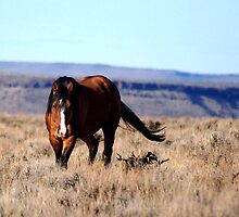 Honor, South Steens Mustang by Tracey Westbury