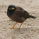 Serenade-in' A Mynah by ellismorleyphto