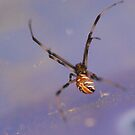 The Great Aussie Red Back Spider by MissyD