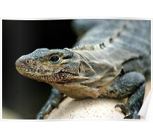 Costa Rico - Iguana Poster