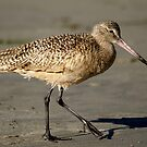 Marbled Godwit #5 by Betsy  Seeton