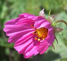 Cosmos in very windy day... by Edyta Magdalena Pelc