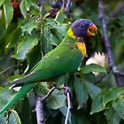 Rainbow Lorikeet by Nick Sage