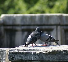 Pigeon pair above the Tiber River, Rome by BronReid