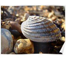 beach shell  hythe Poster