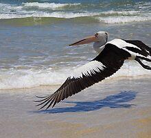 Pelican in Flight by SRB1