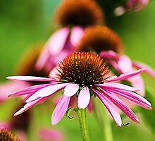 Echinacea by Hetty Mellink