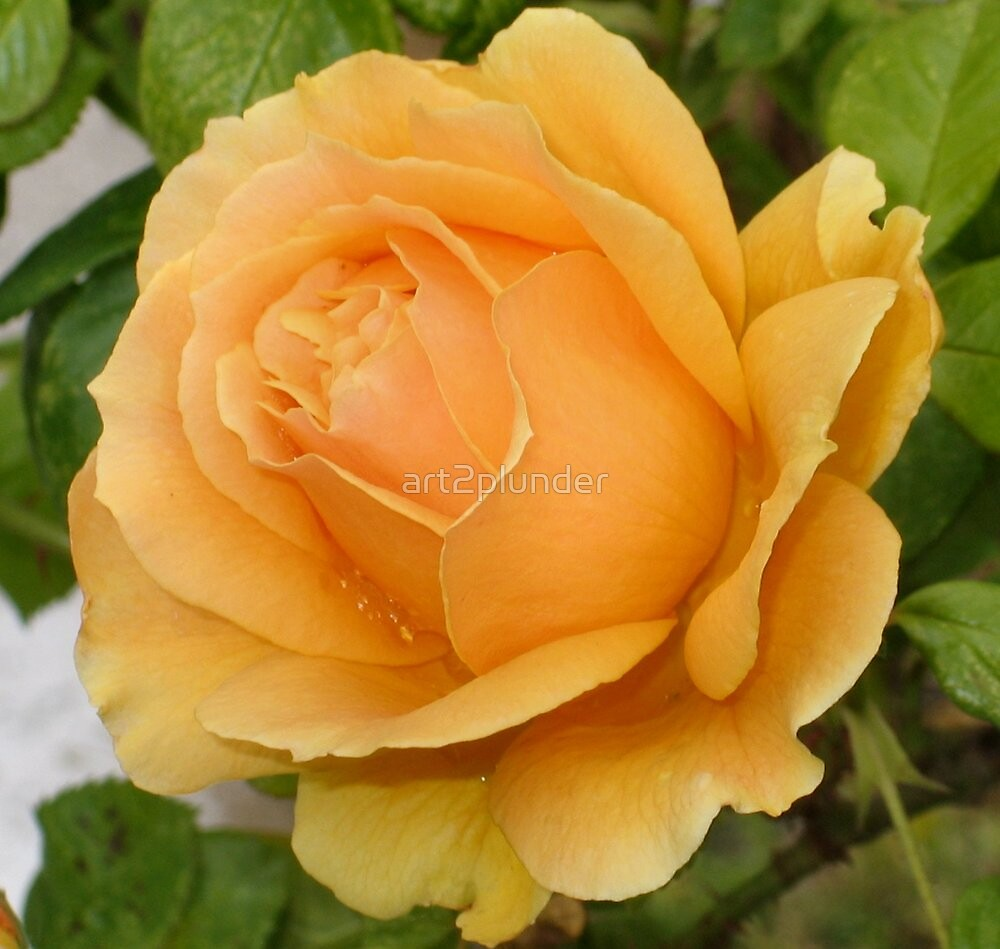 Yellow Rose by art2plunder