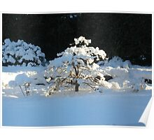 Winter Acer Poster
