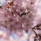 Pink Spring - Gently Pink Cherry Blossoms by Georgia Mizuleva