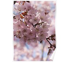 Pink Spring - Gently Pink Cherry Blossoms Poster
