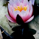 lotus by wistine