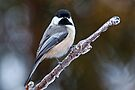 Chickadee on ice covered branch - Ottawa, Ontario by Michael Cummings