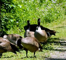 A Gaggle of Geese by ctheworld