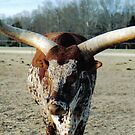 Charlie The Long Horn Bull by Matthew Bonafe