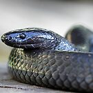 Small-eyed Snake  - Cryptophis nigrescens by Normf