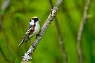 Chestnut sided Warbler - Ottawa, Ontario by Michael Cummings