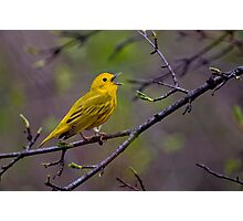 Male Yellow Warbler Singing - Mud Lake, Ottawa, Ontario Photographic Print