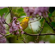 Male Yellow Warbler in Lilacs -  Ottawa, Ontario Photographic Print