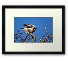 Red-tailed Hawk taking off - Amherst Island Framed Print