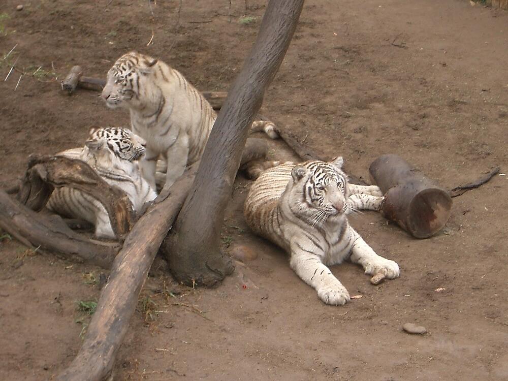 white tigers by sarahroberts90