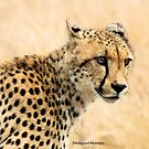  IN PORTRAIT - THE CHEETAH  Acinonyx jabatus by Magaret Meintjes
