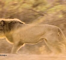 THE LION - KING OF THE JUNGLE, CAUGHT ON A SUNSET CHARGE by Magaret Meintjes