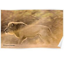 THE LION - KING OF THE JUNGLE, CAUGHT ON A SUNSET CHARGE Poster