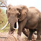 BACK ON THE SERIES: GREAT TUSKERS OF &#x27;THE KRUGER NATIONAL PARK&#x27; by Magaret Meintjes