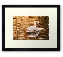 Swan Framed Print