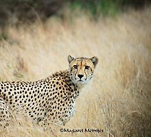 THE CHEETAH - Acin0nyx jabatus, the fastest preditor on earth by Magaret Meintjes