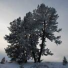 Ponderosa Pine in Evening Winter Light by Janet Houlihan