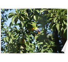 Australian Parrot Poster