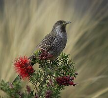 Little Wattle bird by UncaDeej
