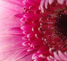 Pink petals fade to white by pnjmcc