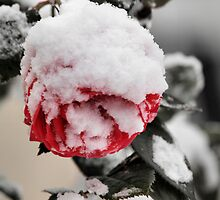 Frosty Rose by KirkArt