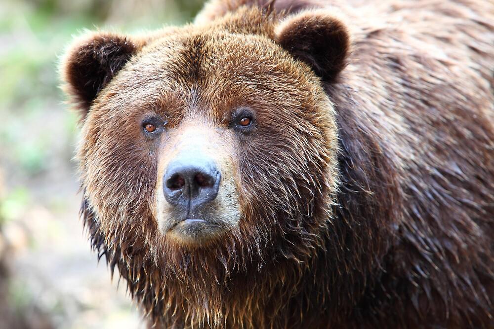 Wild Grizzly Bear Portrait by Tom Prokop