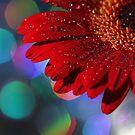 Red Rainbow Gerbera by micklyn