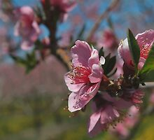 Apple Blossom Time by John Beamish