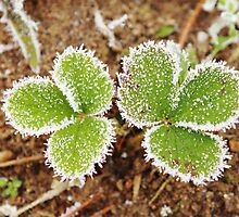 Strawberry leaves with frost in the autumn. by Ligak