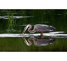 Great Blue Heron catches fish Photographic Print