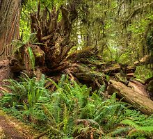 Natural Disorder -  Redwoods NP by GeorgeBuxbaum