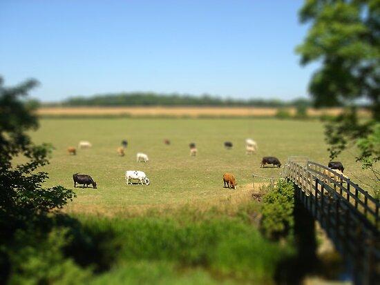 Grazing cows - Buckinghamshire by Chloe Woods